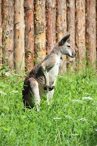 «Тонус МАМА» взяла под опеку кенгуру в зоопарке «Лимпопо»