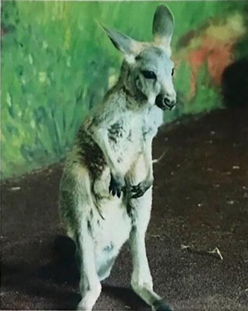 Под опекой «Тонус МАМА» в зоопарке «Лимпопо» на свет появился кенгурёнок